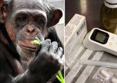 Loomaaia šimpans Betty kosub pärast aastavahetuse saluudist saadud šokki