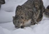LOOMAAIA UUDISED: lumeleopardidel on aedikuvahetuskuu