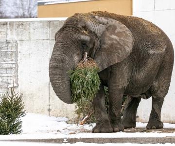 VIDEO JA FOTOD! Müümata jäänud kuusepuu toob rõõmu kuldses keskeas elevant Carlile