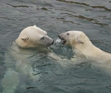 LUSTAKAS VIDEO: Jääkarude esimene kohting möödus basseinis kogu päeva mängides