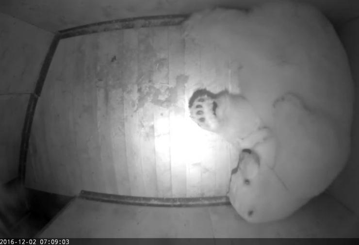 Loomaaia jääkaru Friidal sündis kaks poega