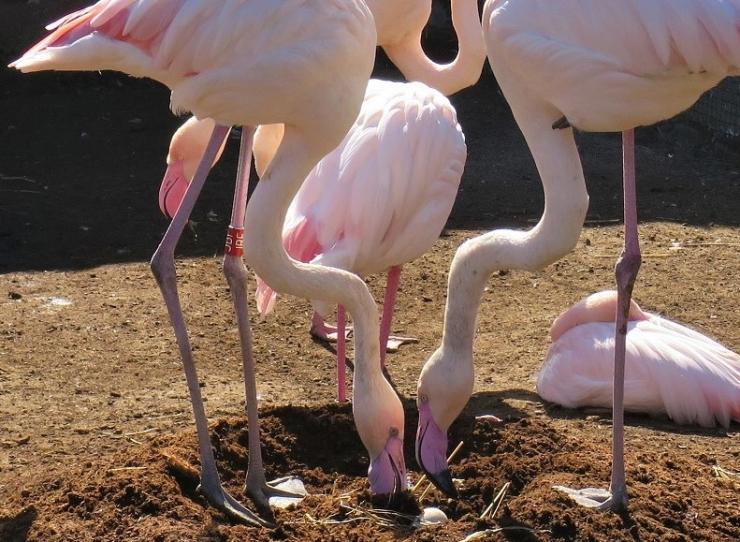 Loomaaia töötajad punusid flamingodele pesa
