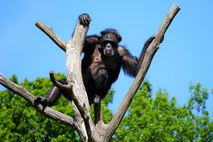 Šimpans Quincy turnib kõrgel puuladvas ja seirab rahvast