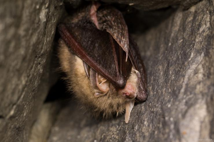 Tammsaare pargis näeb nahkhiirte supervõimeid