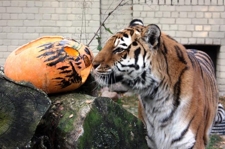 VAATA KAVA! Laupäeval peab Tallinna loomaaed uhket kõrvitsapidu