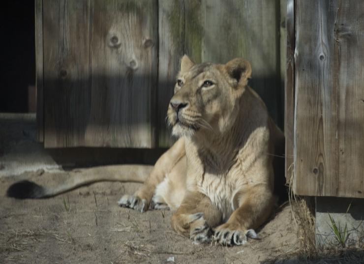 Loomaaias eelmisel nädalal lahkunud aasia lõvil tuvastati koroonaviirus